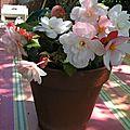 Bégonia double blanc rosé