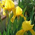 Iris 'Lemon' (jaune)