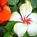 Hibiscus rouge et blanc (au Sénégal, merci à toi !!)