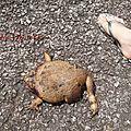 La grenouille qui voulait devenir...
