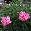 2009 06 16 Deux fleurs de pivoines Crousse