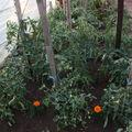 2009 06 09 Mes tomates sous serre