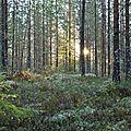 Une forêt boréale, en dalécarlie