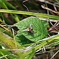 Tachinaire (Tachina fera)