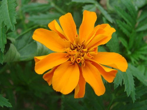 2008 06 11 Une des première fleur d'oeillet d'Inde sous serre