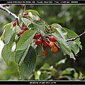 Cerisier, rosier, hortentia et marguerite