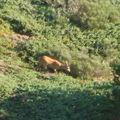 2008 09 08 Un chevreil sur les hauteurs du Mont Mézenc