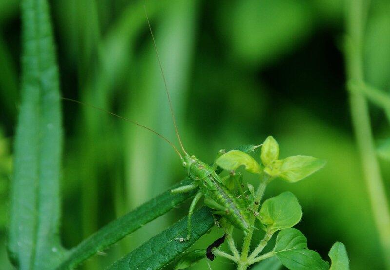 Grande sauterelle verte (M) - Tettigonia viridissima