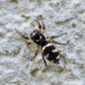 Saltique zèbre • Salticus scenicus • Famille Salticidae