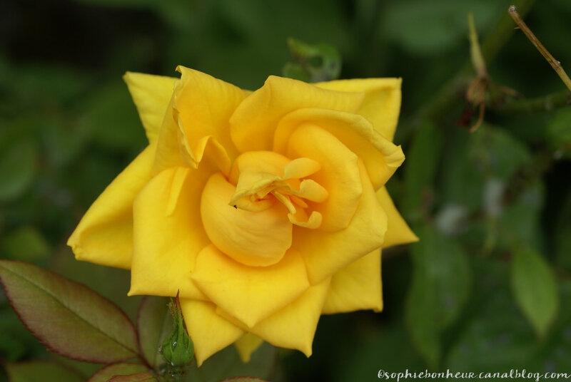 fin mai rose jaune