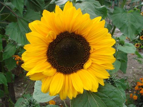 2008 09 05 Une fleur de tournesol soraya