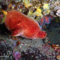 Ascidie rouge (Halocynthia papillosa)