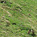 Marmottes (4)