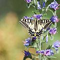Quelques papillons caussenards