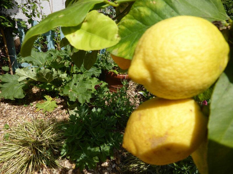 27-potager-citronniers (10)