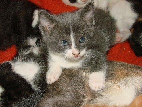 2008 04 27 Le petit chaton de Blanco gris et blanc