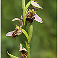Ophrys abeille : Ophrys apifera