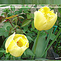 balanicole_2017_05_le printemps des tulipes_41_hamilton