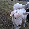 Quelques photos d'agneaux landes de bretagne