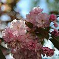 Cerisier à fleur 2