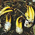 Clathrus bicolumnatus 1990_1027 (3opt)
