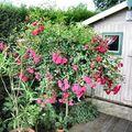 rosier tige en fleur