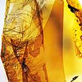 Amber with feathers from the <b>Cretaceous</b> Period