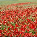 Fleur de vignes et fleur des champs