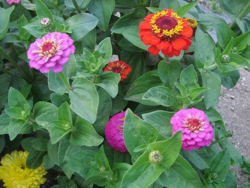 2008 09 01 Quels fleursd e zinnias de mon jardin