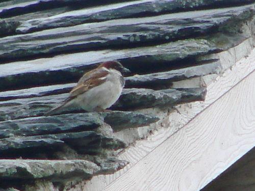 2008 05 31 Un moineau sur le toit