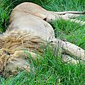 lion sieste 2