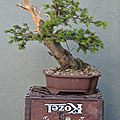 Taxus #24