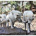 Jeux de loups
