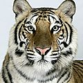 Magnificent <b>Bengal</b> tigers by Barry Bland
