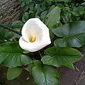 Une plante de toute beauté : l'arum