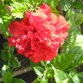 fleur d'hibscus double