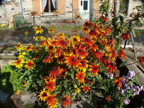 2008 10 03 Mes rudbeckias en fleur