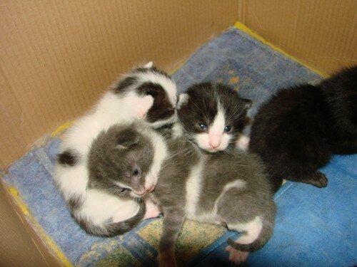 2008 04 04 Les chatons de Blanco à 13 jours
