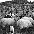 Dans les vignes brebis
