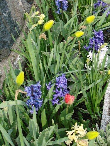 2008 04 16 Mes tulipes, Narcisses et Jacinthes