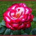 Rose rose et blanche 080515