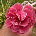 dianthus plumarius houndspool ruby