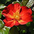 Rosier arbustif Red Cottage