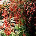 Russélia equisetiformis