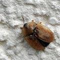 Scarabée tortue • Casside de la betterave • Cassida nebulosa-nobilis