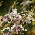 orchid_33