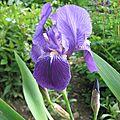 Sa Majesté l'iris