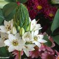 Ornithogale en Thyrse • Ornithogalum Thyrsoides • Liliaceae