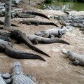 Parc des Everglades, The Alligator Farm ( élevage d'alligators ... aussi destiné à la maroquinerie ...)
