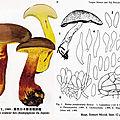 Boletus pseudocalopus IH2 pl 78 (552)RTMI mont